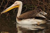Pelikán Bílý. Jihlavská zoo se nově pyšní třemi přírůstky pelikána bílého ze budapešťské zoo. Návštěvníci se s nimi mohou seznámit na Dni ptactva při komentovaném krmení.