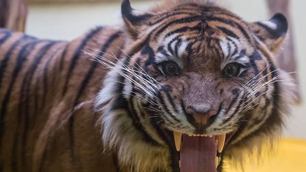 Jihlavská zoo má nového samce tygra sumaterského ze Zoo Brno.