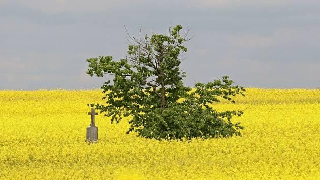 Řepková pole připomínající žlutá moře.