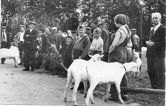 Fotografie z 50. let minulého století ukazuje aukci chovných kozlíků, pořádanou chovateli hospodářského a drobného zvířectva v Dolní Cerekvi.