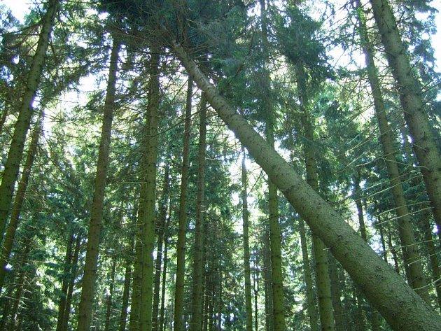 Tento strom byl příčinou neštěstí, při kterém byl těžce zraněn polesný.