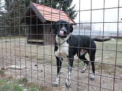 Nováček. Pes na snímku je v jihlavském útulku krátce, proto ještě ani nedostal jméno. Personál čeká, že si ho možná ještě vyzvedne jeho majitel.