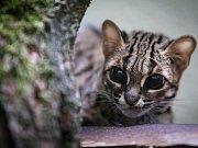 Vzácná kočka Palawanská v jihlavské zoo.