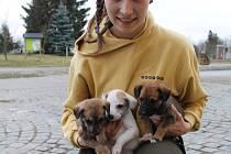 Živá klubíčka. Ošetřovatelka Adéla Halíčková ukazuje tři ze šesti štěňat, která budou od čtvrtka k mání.
