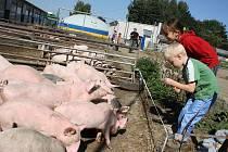 V Sasově pobíhají prasata ve venkovních výbězích a pod stany, kterým říkají sasovské bloby.