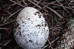 Hadovka smrdutá. Vypadá jako vajíčko, ale je to houba. Sice smrdí, ale na řízek prý chutná skvěle.