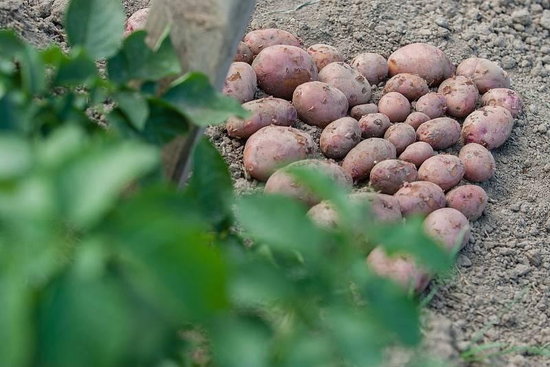 Sklizeň brambor. Ilustrační foto