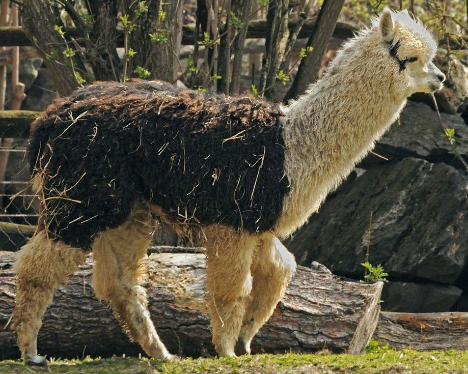 Mladý samec lamy alpaky Ramon se už brzy dočká rozšíření stáda. Foto: Zoologická zahrada Jihlava