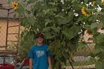 Vítěz. Největší slunečnici vypěstoval v Bezděčíně dvanáctiletý Vojtěch Caha. Měřila 425 centimetrů.