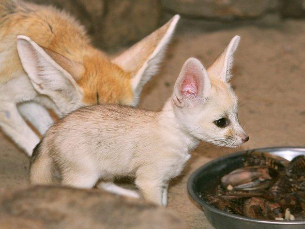 V jihlavské zoologické zahradě se narodila dvě mláďata fenků. Rodiče je až doposud pečlivě chránili v expozici.