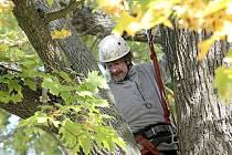 Ještě před pokácením stromu museli odborníci některé větve kvůli bezpečnosti odřezat.
