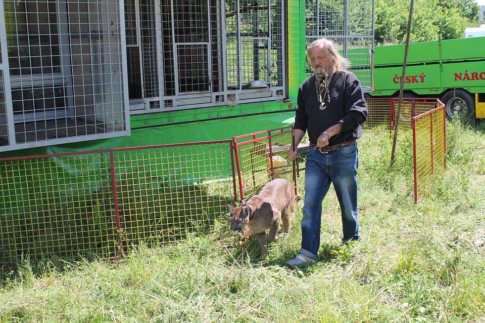 Principál cirkusu Jaromír Joo se svými šelmami. Před měsícem se narodilo mládě tygra ussurijského, které dostane jméno na štaci v Pasohlávkách. Pumy americké zase vyvede na vycházku. Foto: Deník/Jana Kodysová