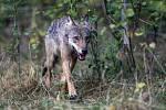 V okolí Telče na Jihlavsku zřejmě trvale žijí vlci.