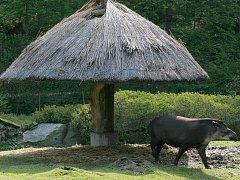 V parných dnech se tapírům zamlouvá rákosový přístřešek, kde se ve stínu dá horko dobře přežít.