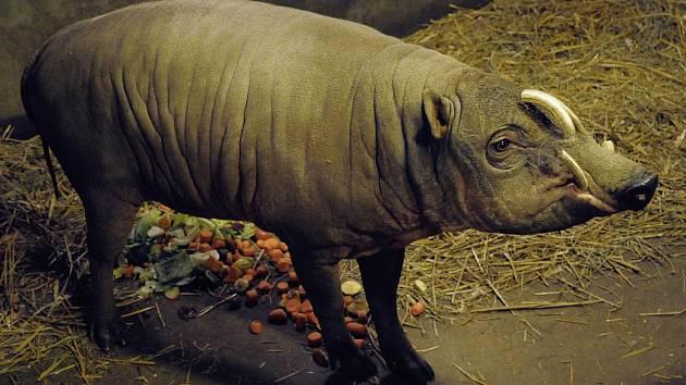 Zoo si vyměnily samce vzácného prasete.