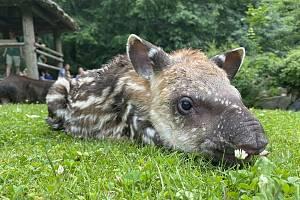 Mládě tapíra jihoamerického mohou návštěvníci vidět ve výběhu.