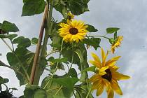Loni se na prvním místě umístila slunečnice, která dorostla do výšky 380 centimetrů.