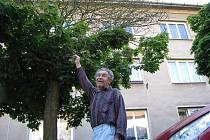Stromy v Hamerníkově ulici a okolí potřebují ošetření. Toho by se měly dočkat v nejbližších dnech. Některé se budou muset pokácet.