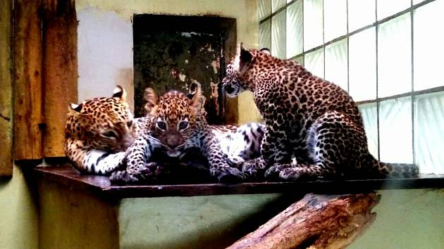 Návštěva v jihlavské zoologické zahradě nabídne například tříměsíční mimina levharta cejlonského, zvědavé surikaty, žirafáky i hravé opičky.