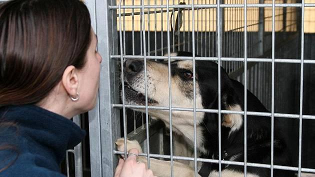 V současné době v Městském útulku pro opuštěná a nalezená zvířata Jihlava na nového pána čeká celkem čtyřiadvacet psů.