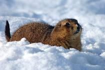 Psouni ze Severní Ameriky se před zimou ukrývají do svých nor. Jakmile je ale jen trošku nad nulou, jdou to nahoru sníh nesníh zkontrolovat.