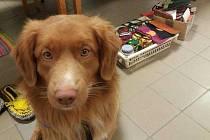 Zraněný pes Scoty se svojí majitelkou odpracovali za poslední tři roky 810 dobrovolnicých hodin.