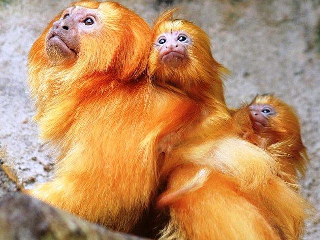 Mláďata lvíčků zlatých matka nejprve několik týdnů kojí. Pak jim začne dávat pevnou stravu, kterou rozmačká v prstech.