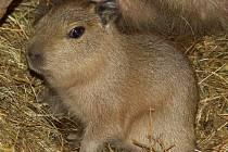 Kapybara je doma v Jižní Americe vzácná. Stala se tam cílem lovu.