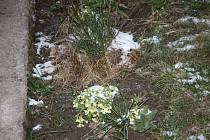 Někde sníh vydržel a zakryl rozkvetlé petrklíče.