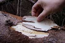 Napadený strom. I na první pohled zdravý strom už může být napadený lýkožroutem.
