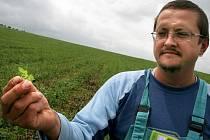 Kopřivy jsou zatím malé. Josef Sklenář na kopřivovém poli kontroluje rostlinky po odplevelovací seči.