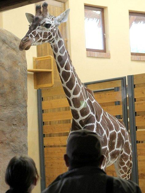 Žirafy z jihlavské zoo slaví.