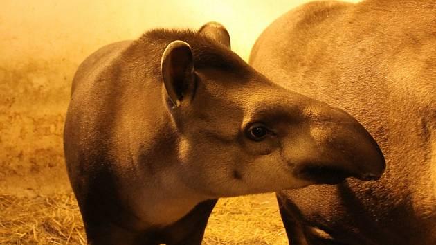 Samička tapíra jihoamerického Zuzanka se loučí s Jihlavou.