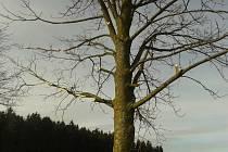 Poničená alej. Javory podél turistické trasy z Hodic směrem na hrad Roštejn byly pravděpodobně ořezány strojem. Po neodborném zásahu mohou stromy napadnout i choroby či houby. Stromy by totiž měly být ořezávány podle arboristického standardu.
