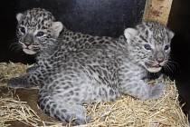 Mláďata levhartů perských