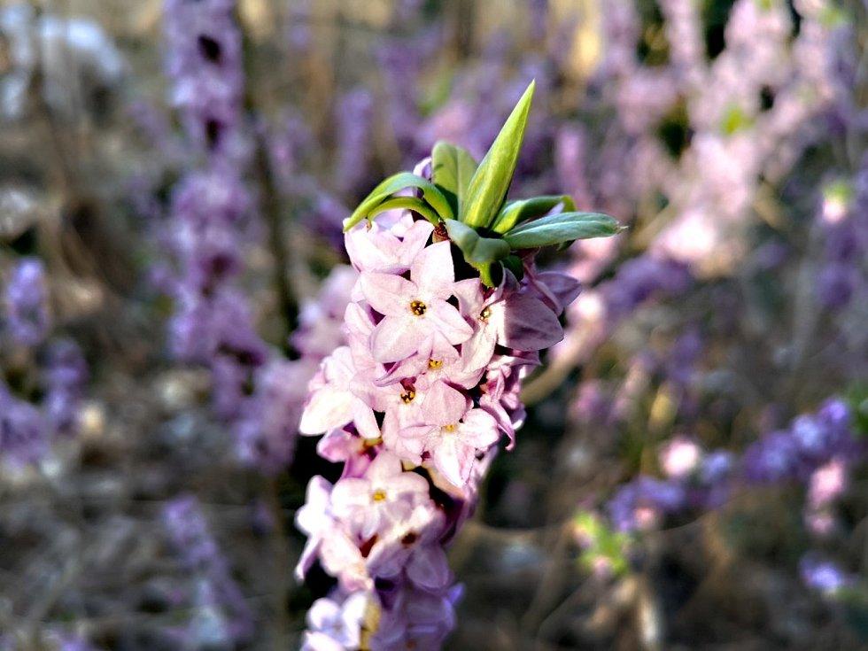 V lesích na Vysočině rozkvetl lýkovec jedovatý.