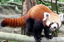 Panda červená, nový obyvatel jihlavské zoo, se rozhodla objevovat Jihlavu. Vyrazila až na konec zoo.
