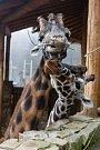 Komentované krmení žiraf v Zoo Jihlava.