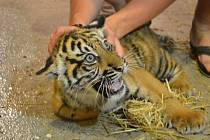 Malou tygřici pokřtí Tomáš Klus.