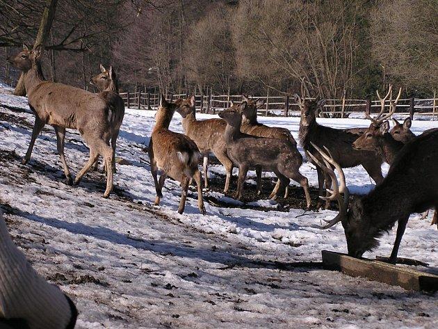 Úhyn lesní zvěře mají během zimního období každoročně na svědomí i běžkaři nebo jezdci na koních.