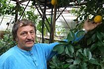 Místo rajčat sklízí pomeranče. Josef Bratršovský se pěstování citrusů věnuje už od osmdesátých let.