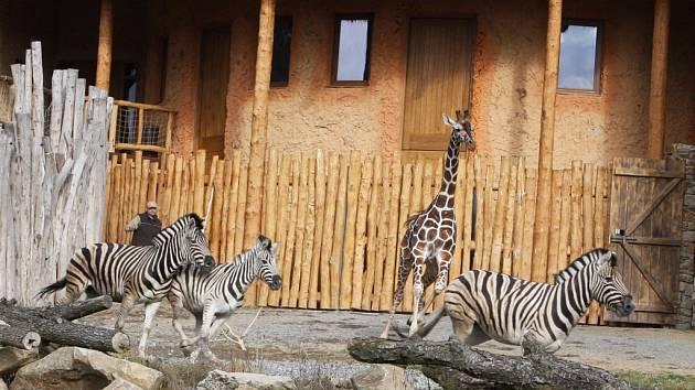 Žirafák Paul prohání nové obyvatele výběhu expozice africké savany. Zebry a žirafy se sžívají čtrnáct dní, k prvnímu opravdovému setkání došlo tento týden v pondělí.