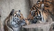 Tygři sumaterští Cinta a Dandys v jihlavské zoo.