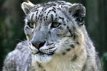 Sněžný levhart z jihlavské zoo se v tuhých mrazech cítí skvěle.
