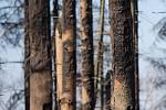 Les po požáru z 6. - 7. dubna 2020 u Kamenice na Jihlavsku.