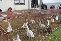 Krajská výstavu králíků, drůbeže, holubů, ovcí, koz, okrasného ptactva a dalších druhů drobných a hospodářských zvířat v Bohdalově byla největší akce svého druhu na Vysočině.
