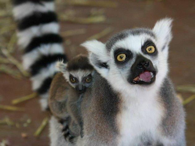 Návštěvníci zoo mohou lemury spatřit v jedné z chýší africké vesnice Matongo nejčastěji jsou zavěšená na břiše matky nebo se vozí po jejím hřbetě.
