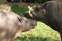 Babirusa (Babyrousa babyrussa) patří zcela jistě k nejbizarnějším zvířatům světa.