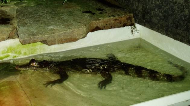 Krokodýl místo psa. I když může působit hrozivě, nikdo se ho bát nemusí. U Krejčích bydlí v bezpečném teráriu.