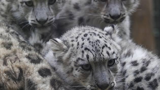Jihlavská zoo je v České republice nejvýznamnějším chovatelem irbisů. V zoo je těchto koček nyní k vidění celkem sedm.
